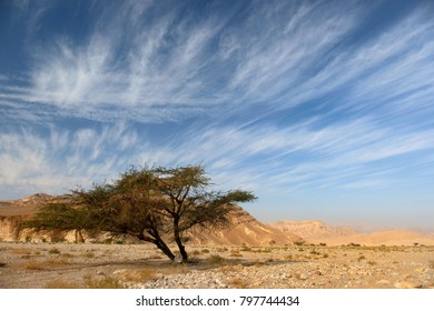 Acacia on the hiking trail in the Eilat mountains in Israel. Colorful view of dry wadi in a desert in the remote region of the Eilat mountains.