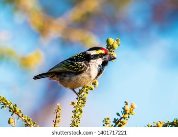 Acacia Pied Barbet Namibia Colourfull Winter in the desert