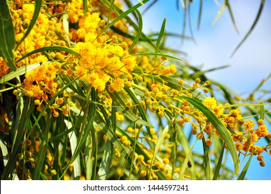 Acacia pycnantha, Golden Wattle, Australian floral emblem that flowers in late winter and spring producing a mass of fragrant, fluffy, golden flowers.