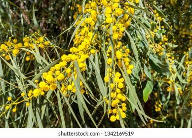 Acacia  retinodes, mimosa in spring, Spain.