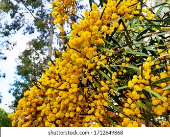 Acacia saligna, commonly known by various names: coojong, golden wreath wattle, orange wattle, blue-leafed wattle, Western Australian golden wattle and Port Jackson willow. Flowering tree