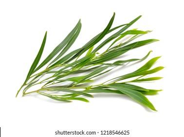 Acacia saligna, coojong, golden wreath wattle, orange wattle, blue-leafed wattle, Western Australian golden wattle or Port Jackson willow. Isolated.
