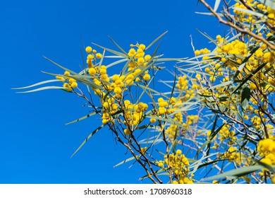 Acacia Saligna (Acacia cyanophylla,  coojong, golden wreath, orange wattle, blue-leafed, Western Australian golden, Port Jackson willow) branch in full bloom