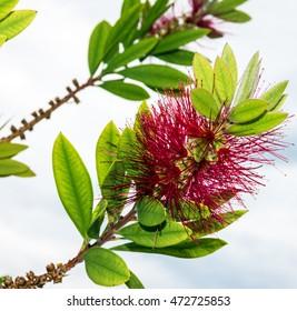 acacia spring umbrella red flowers