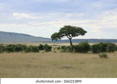 Acacia tree alone in de Masai Mara National Park, Kenya