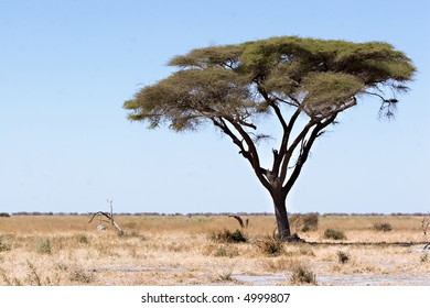 Acacia tree in Chobe Game Reserve Botswana (Savute Marsh Road)