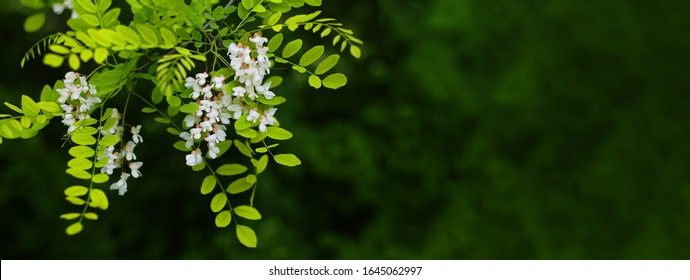 Acacia tree flowers blooming in the spring. Acacia flowers branch with a green background