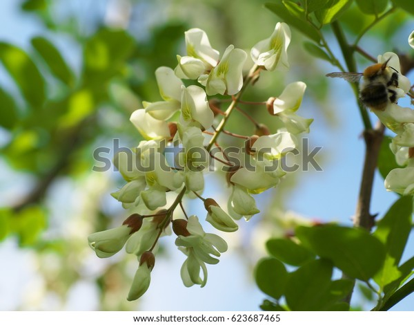 acacia tree flowers blooming in the spring on the branches.