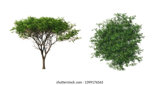 Acacia tree. Isolated on white background. 3D rendering illustration.
