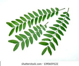 Acacia tree leaves on white background
