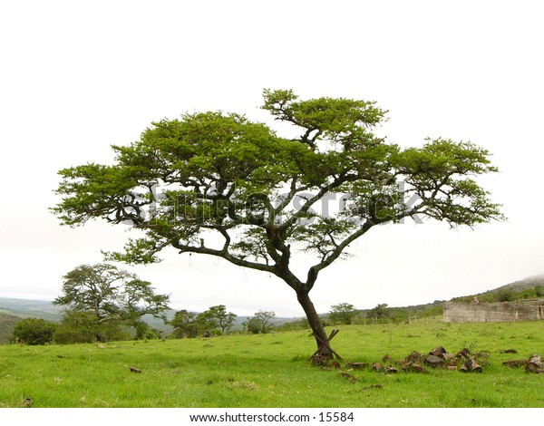 Acacia tree on a farm in South Africa
