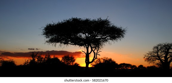 An acacia tree is silhouetted against a vibrant, low sunset in Serengeti National Park, Tanzania, Africa.