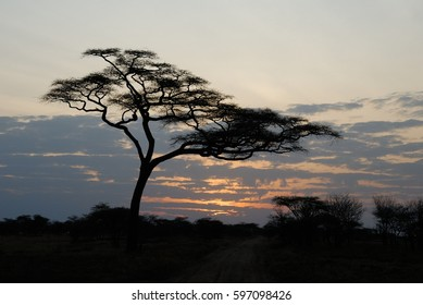 Acacia tree at sunset, Serengeti National Park, Tanzania