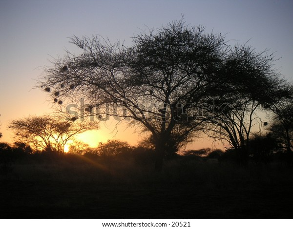 Acacia Tree with Weaver Nests at Sunrise