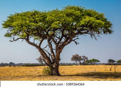 An acacia tree in Zimbabwe. September 8, 2016.