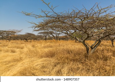 Acacia trees in the dry savannah grasslands in Abjatta-shalla national park, Ethiopia