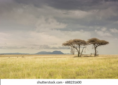 Acacia trees on the African Savanna. Serengeti national park, Tanzania