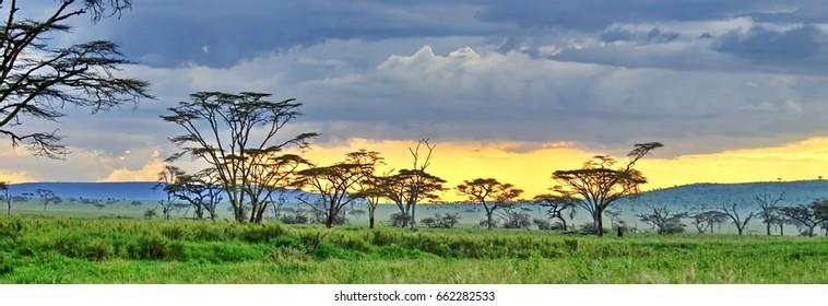 Acacia trees on the plain at sunset in Serengeti National Park, Tanzania