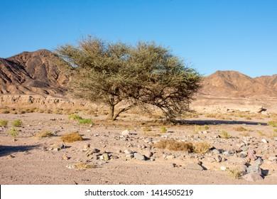 Acacia Trees in Ras Muhammad National Park. Acacia trees at the desert