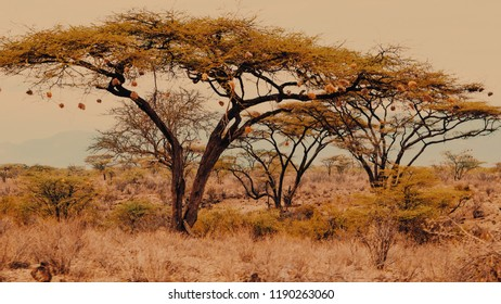 Acacia trees in Samburu National Reserve, Samburu, Kenya