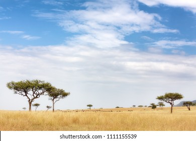 Acacia tress in the Masai Mara, Kenya. Wildebeest and zebra can be seen grazing in the distance