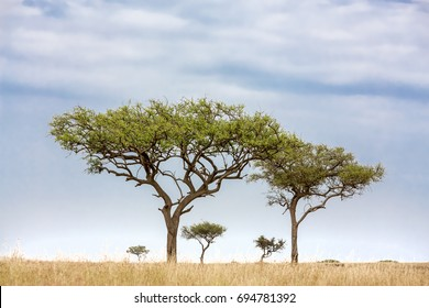 Acacia tress in the Masai Mara, Kenya. Two trees in the foreground frame trees on the horizon.