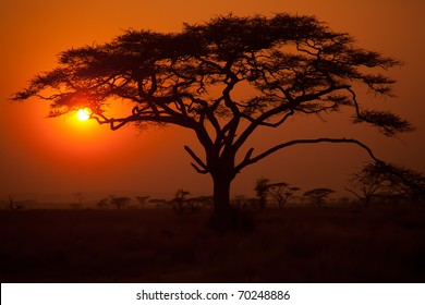 Acacia Tressts in silhouette on the Serengeti plains in Africa