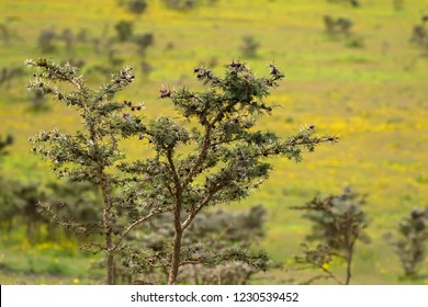 Acacia whistling thorn tree with brown bulbous growing at Ngorongoro Crater, Arusha Region, Tanzania, East Africa (Acacia drepanolobium)