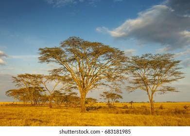 Acacias (Vachellia) tree at sunrise in Serengeti National Park, Tanzania.