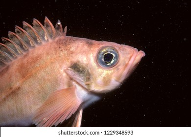 Acadian redfish underwater in the St-Lawrence River