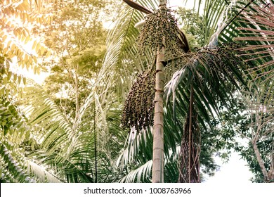 Acai berry tree in wild forest in Amazon