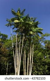 acai palm against blue sky