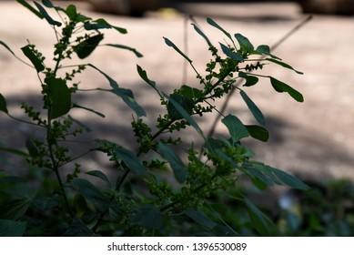 Acalypha Images Stock Photos Vectors Shutterstock