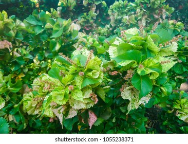 Acalypha Wilkesiana Images Stock Photos Vectors Shutterstock