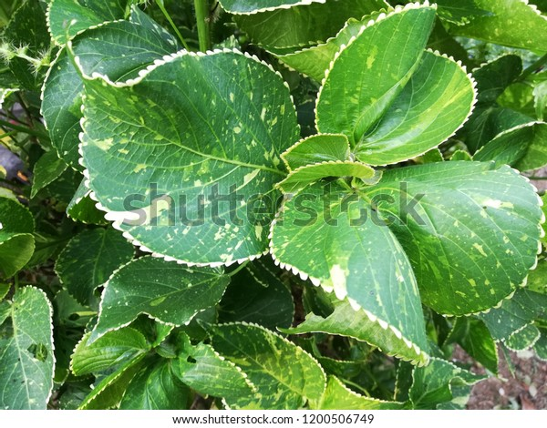 Acalypha Wilkesiana Copperleaf Coat Plant Leaves Stock Photo Edit