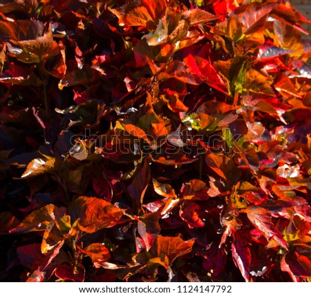 Acalypha Wilkesiana Fijian Fireplant Copperleaf Coat Stock Photo
