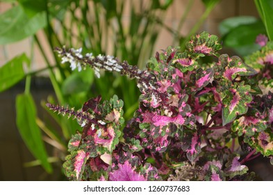 Acalypha wilkesiana Müll-Arg, a flowering plant in Euphorbiaceae, also known as  Beef-steak, Copper Leaf,Jacob's Coat,Painted Copper Leaf, normally used as ornamental plant and herbs