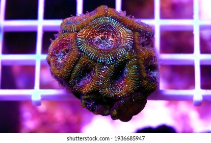 Acanthastrea lordhowensis colorful LPS coral