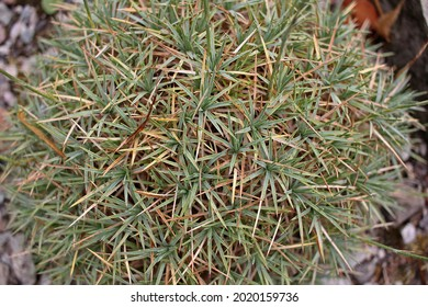 Acantholimon (prickly thrift) is a genus of small flowering plants. They are distributed from southeastern Europe to central Asia and also in South America, also cultivated in rock gardens