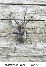 Acantholycosa lignaria, a wolf spider carrying  egg sac