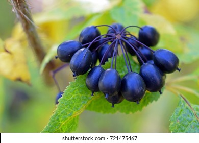 Acanthopanax Senticosus, also called Siberian Ginseng, Eleutherococcus senticosus berries are a widely used herb in traditional Chinese medicine.