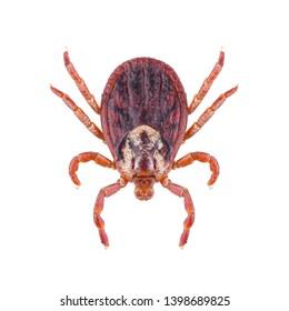 Acari tick Dermacentor marginatus isolated on white background. Dorsal view of female ixodes tick.