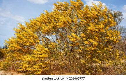 Acacia Aneura Images Stock Photos Vectors Shutterstock