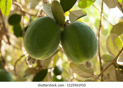 Acca sellowiana, feijoa