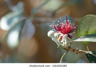 Acca sellowiana or feijoa, pineapple guava, guavasteen
