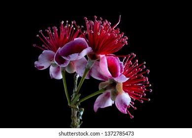 acca sellowiana tree flower closeup