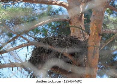Accipiter gentilis. The nest of the Northern Goshawk in nature.