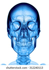 accurate medical illustration of the skull