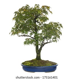 Bonsai Acer Images Stock Photos Vectors Shutterstock