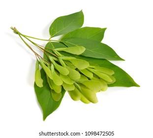 Acer negundo or Manitoba, occasionally, elf maple. Box elder, boxelder, ash-leaved, ash or ashleaf maple. Leaves with green seeds. ISolated.